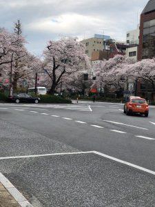 国立駅大学通り 桜満開🌸